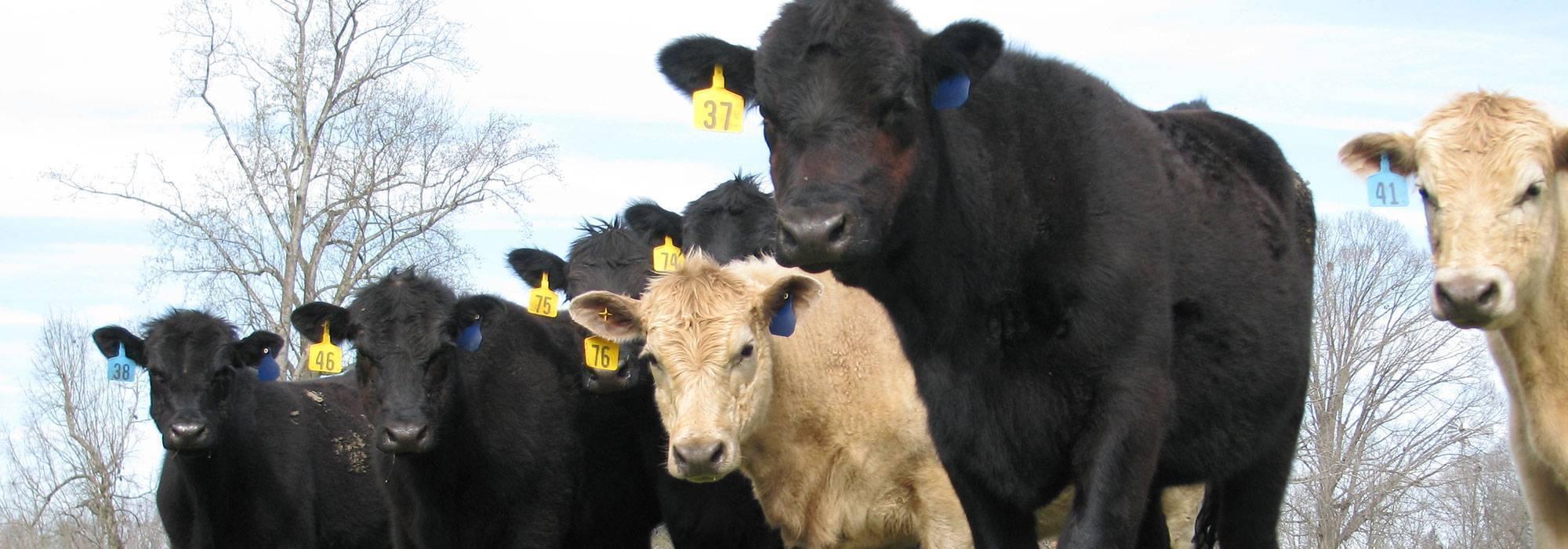 Big Hickory Farms | Grass Fed Beef, Georgia Grass Fed Beef